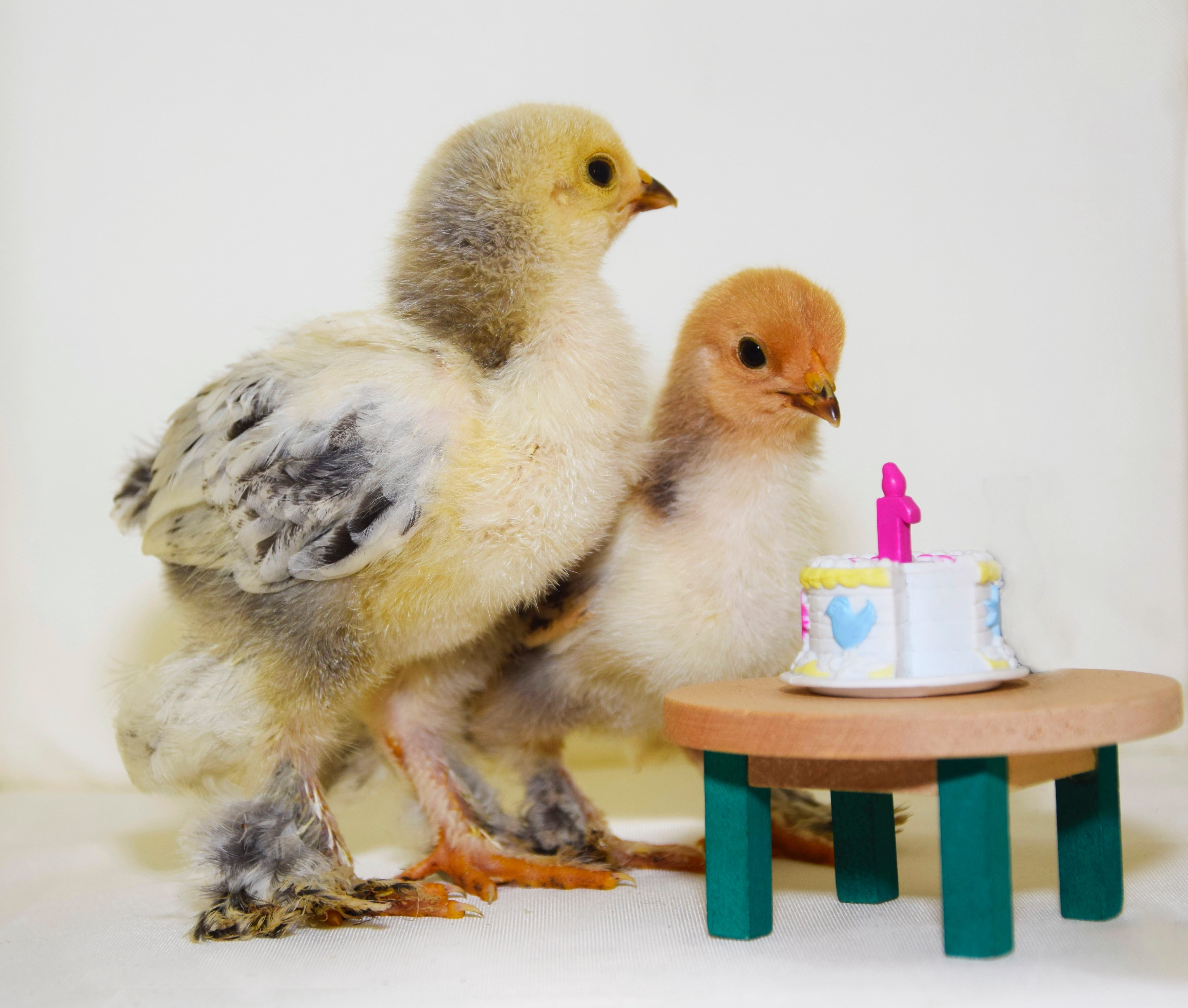 Raising chickens